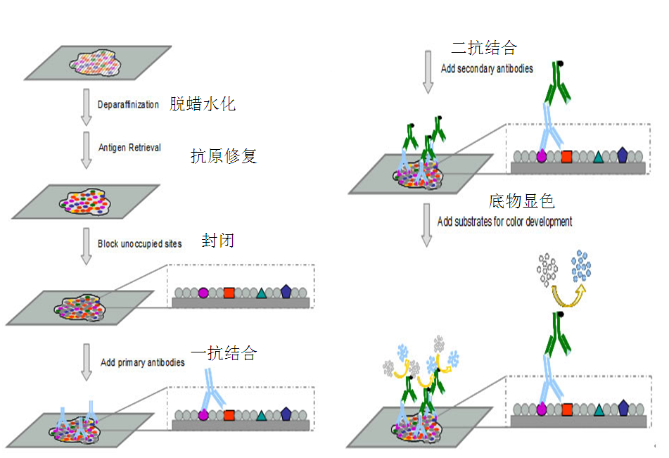 IHC检测服务 服务编号 GN025 服务内容 免疫组化,是应用免疫学基本原理抗原抗体反应,即抗原与抗体特异性结合的原理,通过化学反应使标记抗体的显色剂(荧光素、酶、金属离子、同位素)显色来确定组织细胞内抗原(多肽和蛋白质),对其进行定位、定性及定量的研究,称为免疫组织化学技术(immunohistochemistry)或免疫细胞化学技术(immunocytochemistry)。 实验流程图 您只需提供: 1.